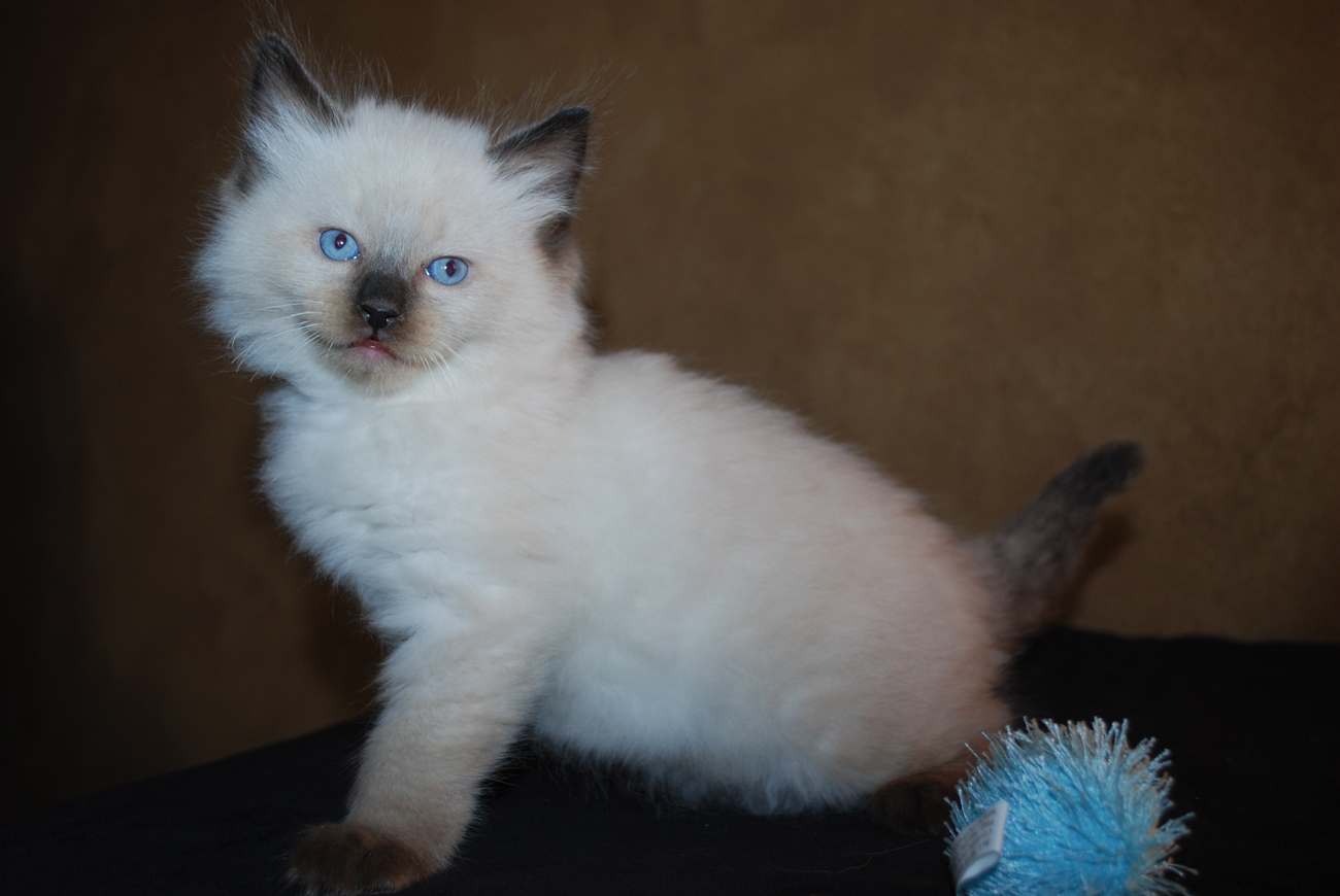 Ragdoll kitten with toy