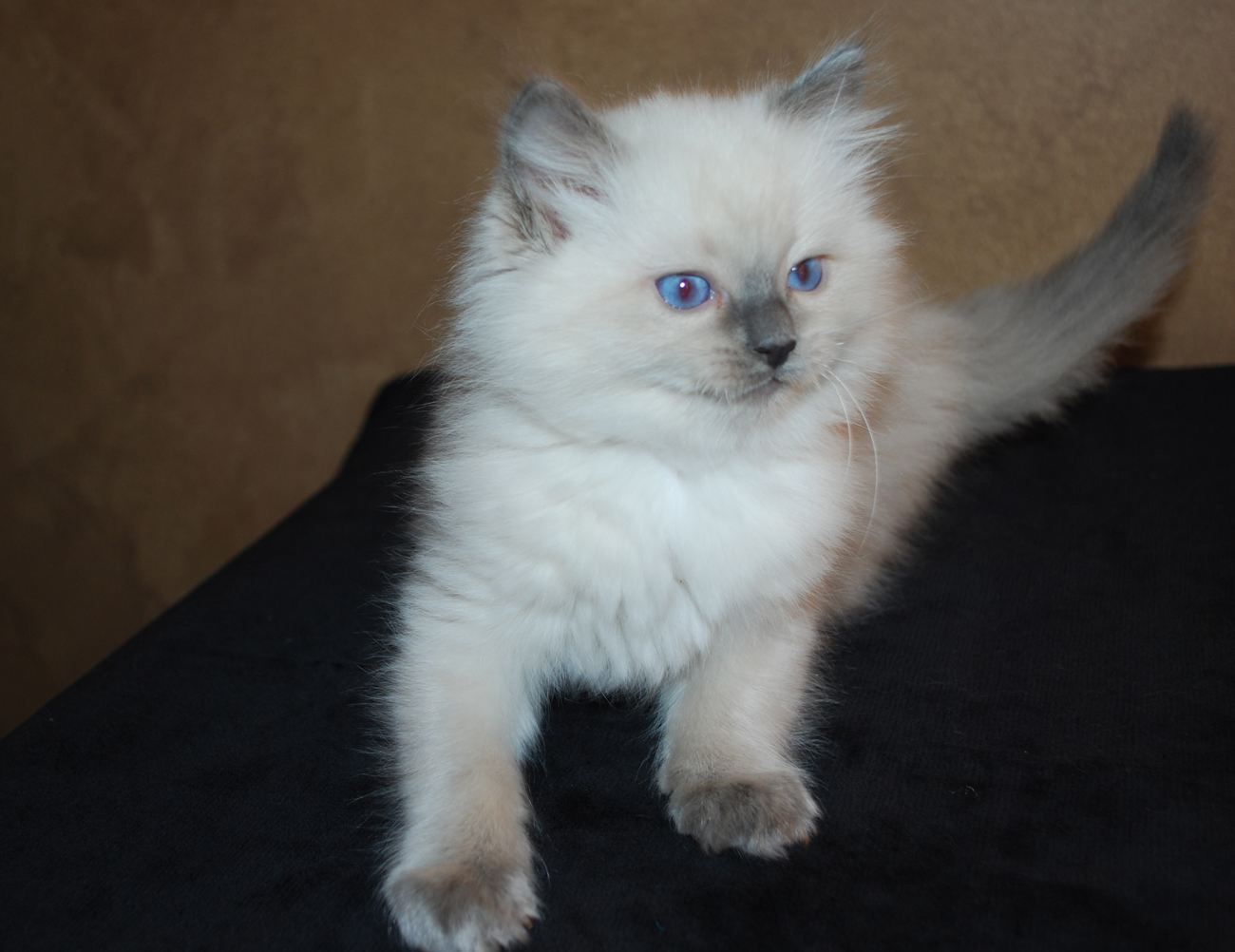 white ragdoll kitten