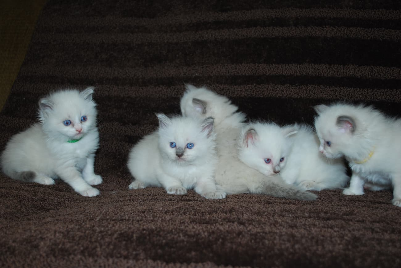 Colorpoint ragdoll kittens
