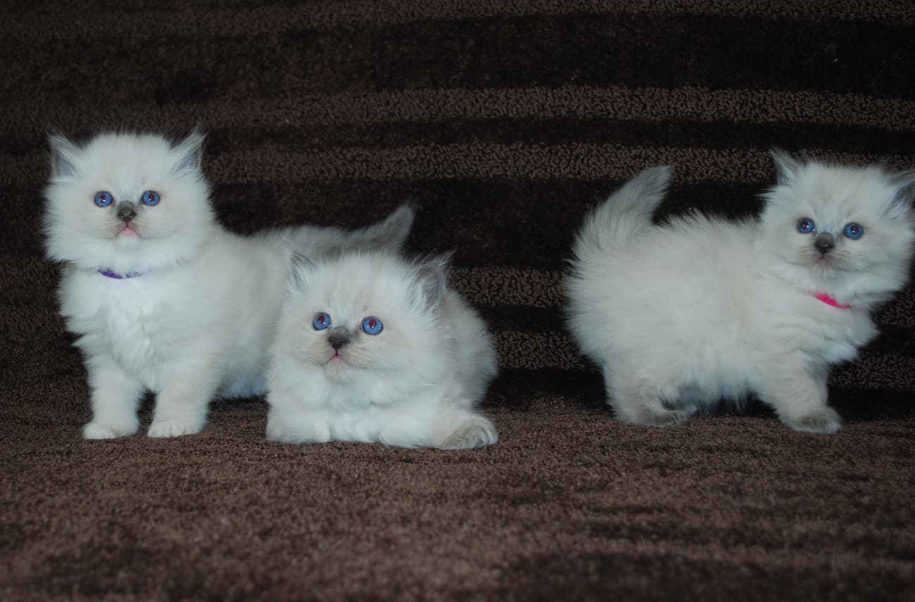 Ragdoll kittens playing