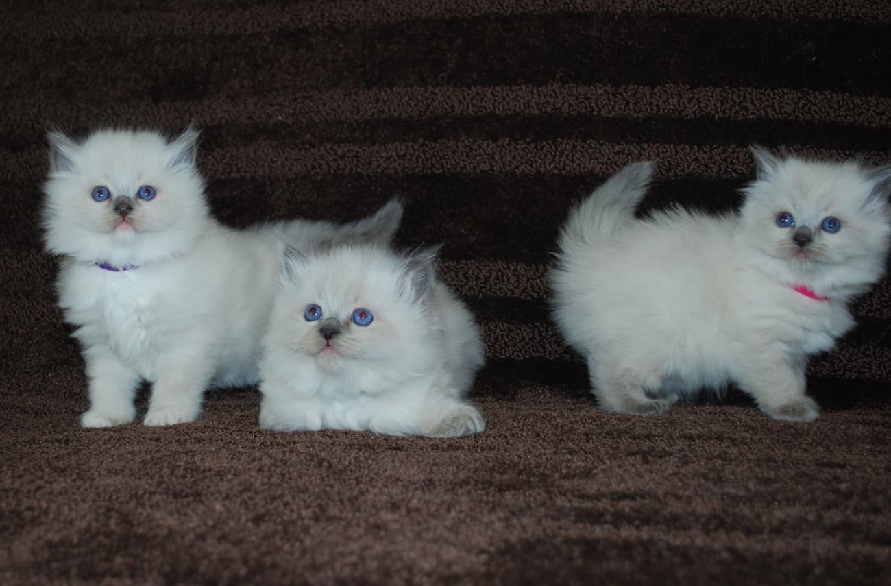 Ragdoll kittens playing