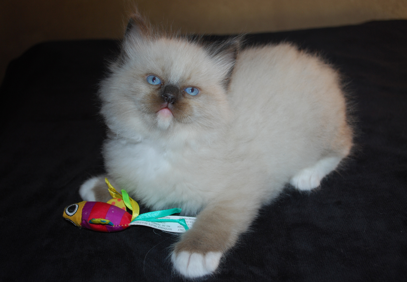 Seal ragdoll kitten